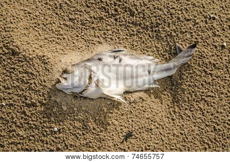 Closeup Of A Dead Fish On A Polluted Beach