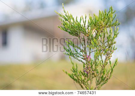 Australian Spring Wildflower Melaleuca Thymifolia Shrub