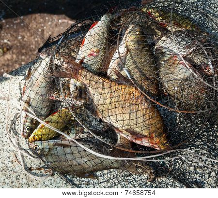 Freshly caught various fresh-water fish in a net