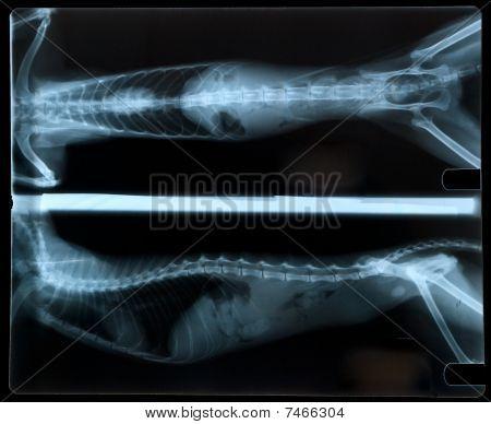 Katze-X-ray
