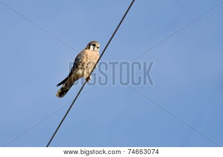 Male American Kestrel Perched On A Wire