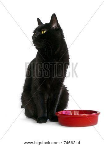 Black Adult Cat