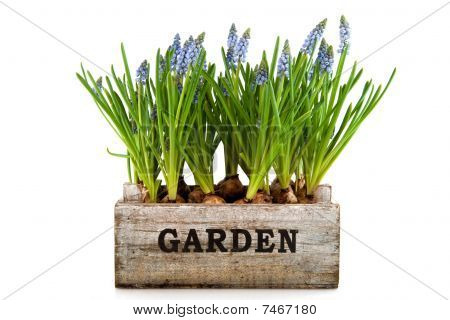 Garden Crate With Muscari