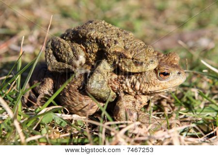 European Common Toads