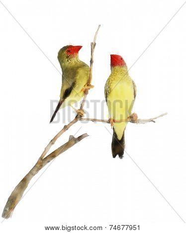 Digital Painting Of Star Finch Birds