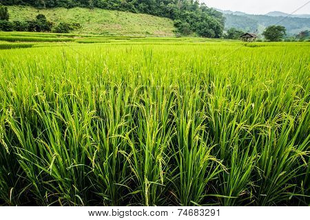 Rice Field in chiangmai Thailand