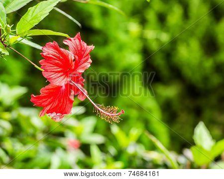 Hibiscus Flower  In Queen Sirikit Botanic Garden, Chiangmai Thailand.