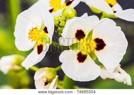 White  Flower In Queen Sirikit Botanic Garden, Chiangmai Thailand.