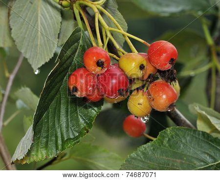 Robertson's Whitebeam Berries