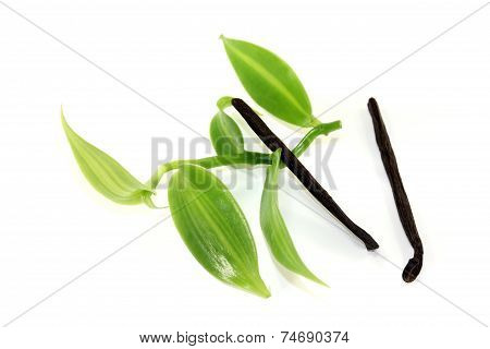 Vanilla Sticks With Green Vanilla Leaves