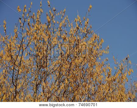 Catkins On Common Hazel