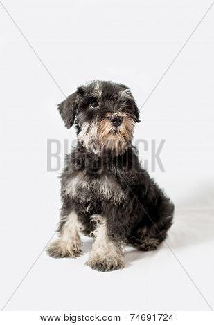 Portrait Miniature Schnauzer Black Isolated
