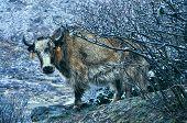 pic of yaks  - Close - JPG