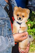 stock photo of miniature pomeranian spitz puppy  - Fluffyl Pomeranian Puppy In Hand  - JPG