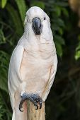 image of cockatoos  - Close up of  white Moluccan Cockatoo parrot - JPG