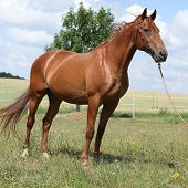 stock photo of bridle  - Nice Budyonny horse with bridle standing on meadow - JPG