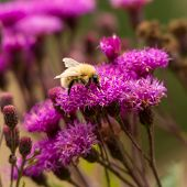 foto of bumble bee  - Bumble bee extracting pollen on vivid pink flower - JPG