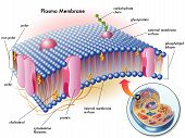 stock photo of lipids  - medical illustration of elements of plasma membrane - JPG