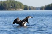 image of loon  - Loon on a northern lake flapping it - JPG