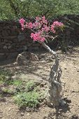 image of desert-rose  - A Desert Rose plant at Lake Baringo in Kenya. ** Note: Shallow depth of field - JPG