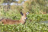Постер, плакат: Waterbuck In Kenya