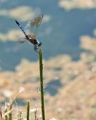 pic of woodstock  - Common Green Darner dragonfly resting in the sun