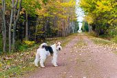stock photo of confederation  - Wire fox terrier on the portion of the Trans Canada Trail in rural Prince Edward Island - JPG