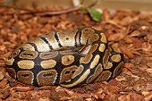 stock photo of python  - Ball Python  - JPG