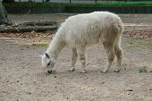 stock photo of lamas  - The young Lama goes for a walk in the zoo