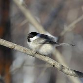 image of chickadee  - fluffy chickadee sitting on a branch close - JPG