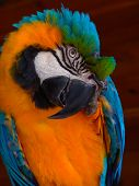 picture of tropical birds  - big multicolored parrot with big bill (beak)