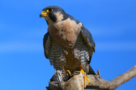 pic of falcons  - Peregrine falcon (Falcon peregrinus) sitting on a stick ** Note: Soft Focus at 100%, best at smaller sizes - JPG