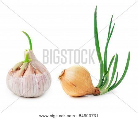 Germinating Onion And Garlic