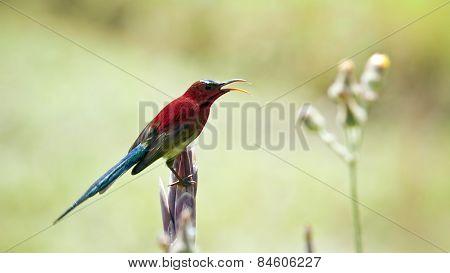 Crimson Sunbird In Bardia, Nepal