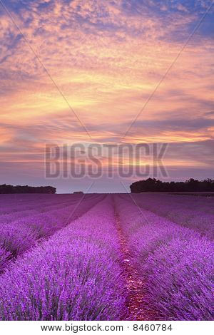 Summer Lavender Sunset