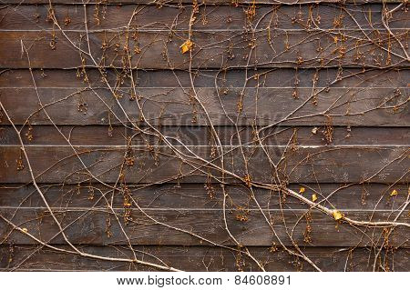 Texture Of Creeping Plant Growing On Old Wooden Fence
