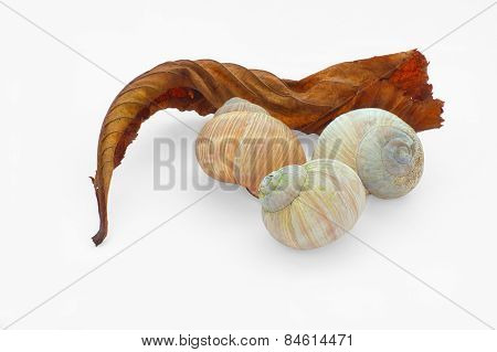 Old Red Leaf And Cockle-shells