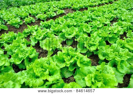 green lettuce crops in growth