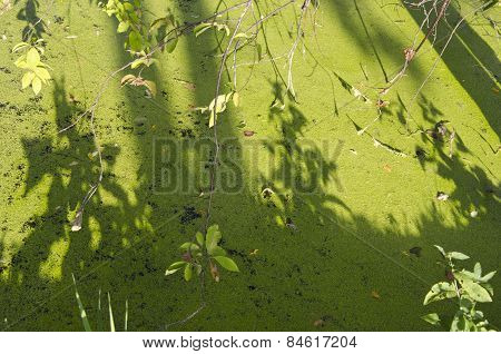 Green Summer Lake Pond Water With Duckweeds