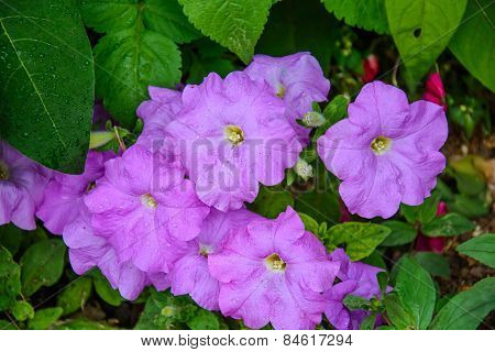 Blossoming Purple Petunia Flowers