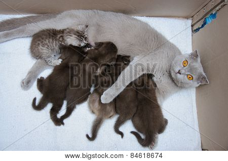 Scottish Fold Mother Cat Milk Feeding Her Kittens