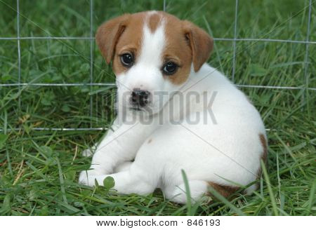 Jack Russell Puppy in the Grass