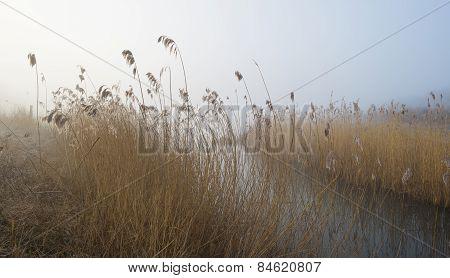 Reed along the shore of a lake at dawn