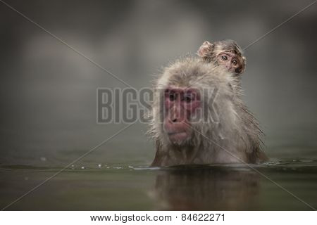 A Japanese macaque gives its young a ride through an onsen