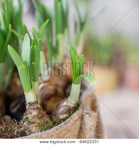 Roots Of Daffodils