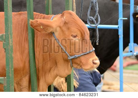 Beef Judge