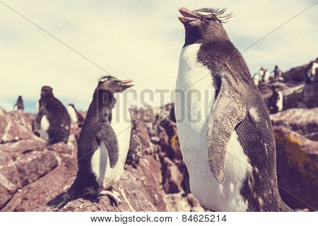 Rockhopper penguin in Argentina