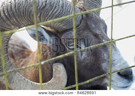 Wild Ram In Captivity