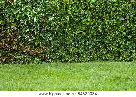 English Garden. Green Hedge With An Grass