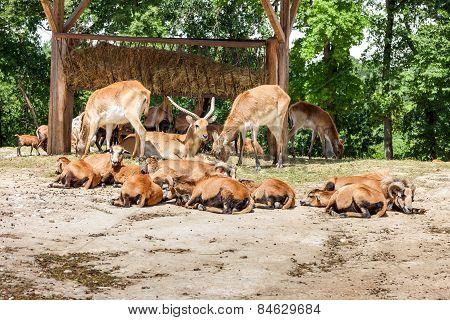 Zoo. herd of antelopes